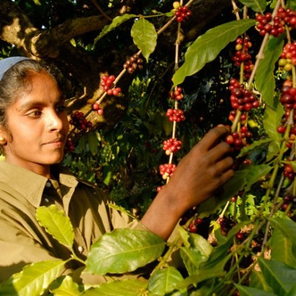 Coffee Plantation KeralaToursGlobal1