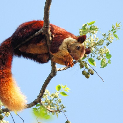 Giant Squirrel KeralaToursGlobal1