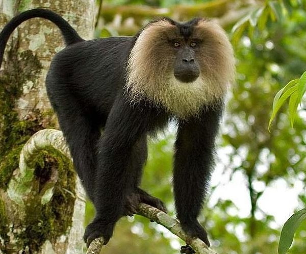 Silent Valley Lion tailed KeralaToursGlobal1