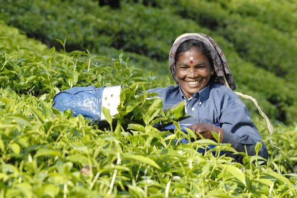 Tea Plucker in Munnar KeralaToursGlobal1